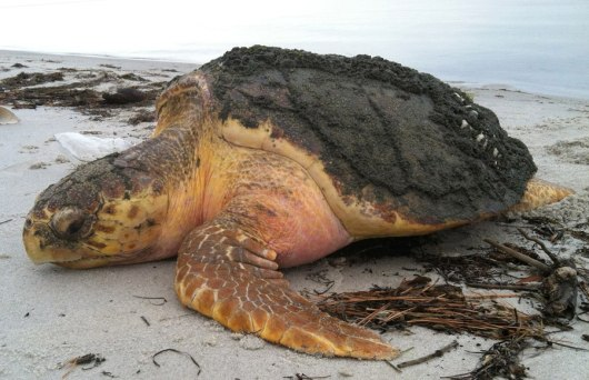 This photo of a Cold Stunned Sea Turtle was posted by the Virginia Aquarium & Marine Science Center